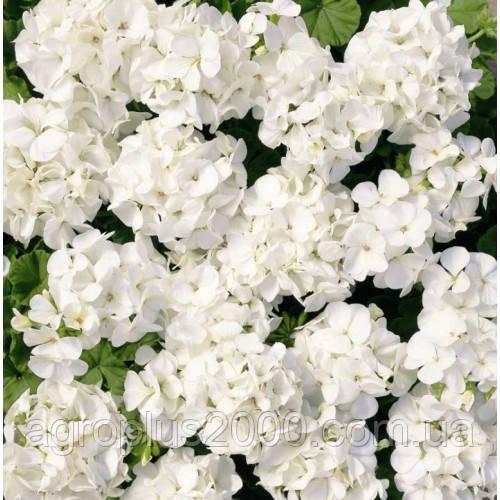 пеларгония белая семена
