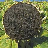 Семена подсолнечника  Рими под Евролайтинг, фото 2