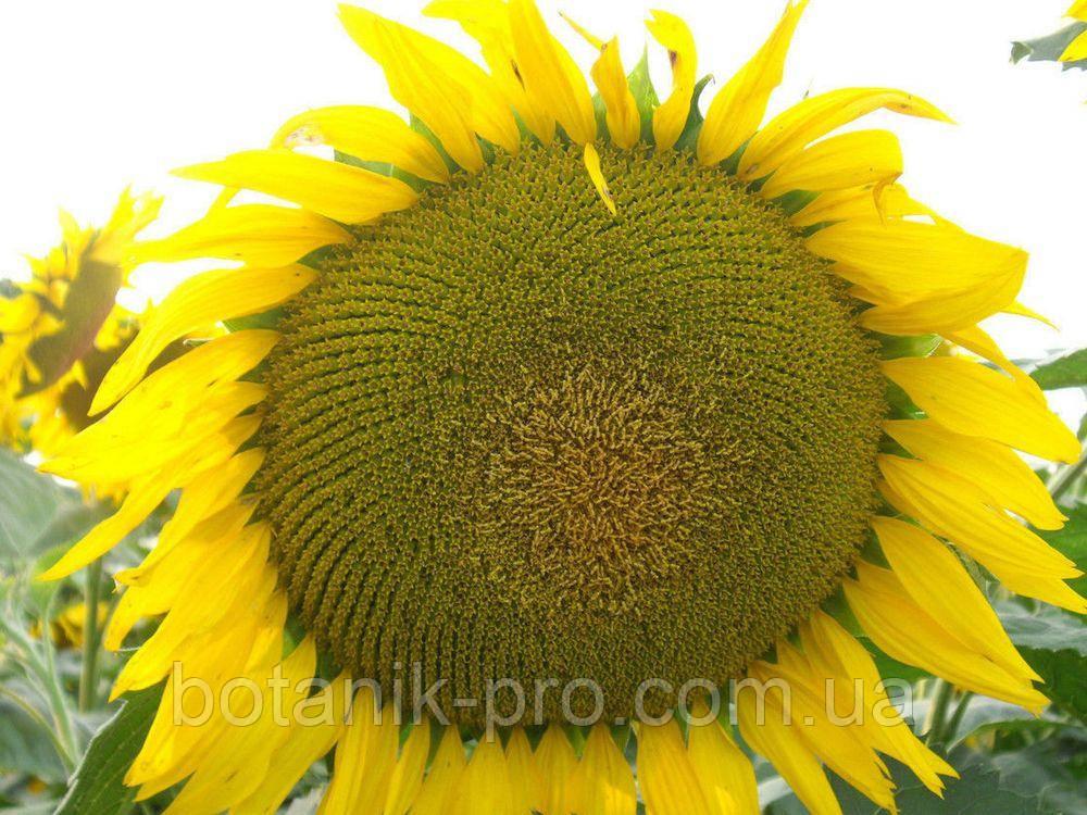 Семена подсолнечника Сады Украины НС-Х-2649 под Гранстар фракция экстра+ 3,2-3,6 мм