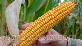 Гибрид кукурузы Днепровский 257 СВ (ФАО 260)