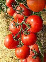 Семена томата Энигма F1 500 сем. Семинис.