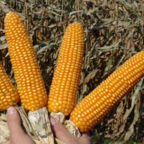 Семена гибрида кукурузы РОБЕРТО (ROBERTO) ФАО 260