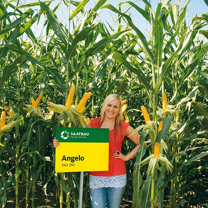 Семена  кукурузы АНЖЕЛО (ANGELO) ФАО 290 (Заатбау), фото 2