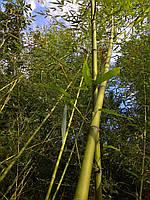 Стволы бамбука