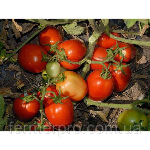 Семена Томата Чибли F1 \ Chibli F1 2500 семян Syngenta