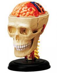 Анатомическая модель человека  Черепно-мозговая коробка человека, 4D Master 26053 - Интернет-магазин Купи: термомозаика, пазлы, конструктор, технику в Киеве