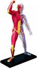 Анатомическая модель человека Мускулы и скелет человека  4D Master 26058