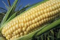 Семена кукурузы (зерно кукурудзи оброблене) НС-400 (Сербия, Нови Сад), 39кг
