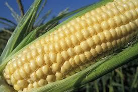 Семена кукурузы (зерно кукурудзи оброблене) НС-101 (Сербия, Нови Сад), 20кг