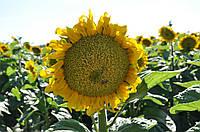 Семена подсолнечника Лимит (А-G) Clearfield® (105-110)