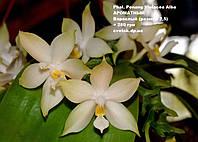Уценка! Орхидея Phal. Penang Violacea Alba АРОМАТНЫЙ, проблемная точка роста, см фото