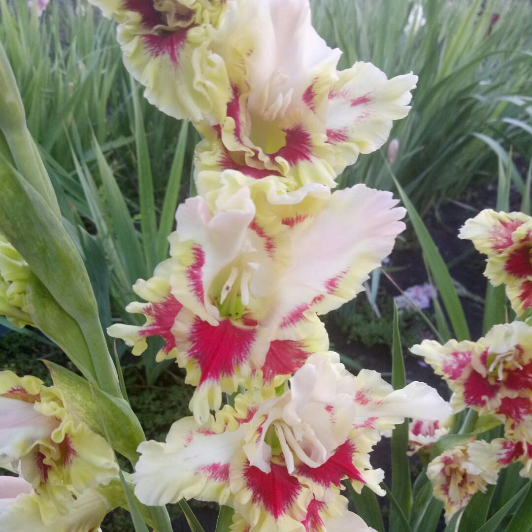 Гладиолус Веснянка 3 разбор (от 1,5 см до 2,5 см)