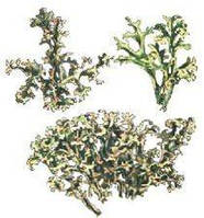 Исландский мох-лекарственная трава (30гр)