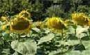 Семена подсолнечника украинской и импортной селекции