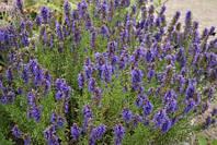 Иссоп лекарственная трава (40гр)
