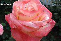 Роза чайно-гибридная Белла перла (Belle Perle)