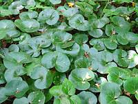 Копытень-лекарственная трава (40гр)