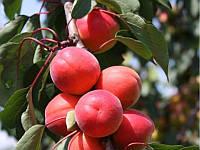 Саженцы абрикоса (двухлетние)