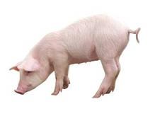 """Комбикорм для свиней ТМ """"Стандарт Агро"""" СК 10-30, фото 2"""