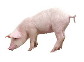 """Комбикорм для свиней ТМ """"Стандарт Агро"""" СК 60-120"""", фото 2"""