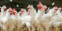 """ВМК """" 0,5%"""" курчата яєчних порід    gepardd.com"""