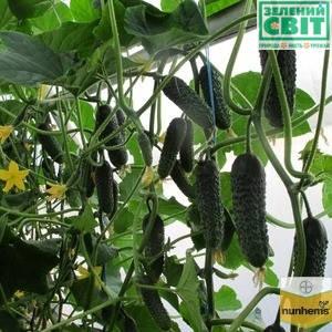 Семена огурца Директор F1 (Nunhems), 500 семян — ранний гибрид (45-50 дней), партенокарпик, фото 2