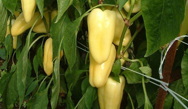 Семена перца Диментио F1 \ Dimentio F1 500 семян Syngenta