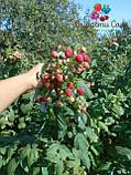 Саженцы малины Херитейдж, фото 2
