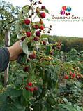 Саженцы малины Херитейдж, фото 3