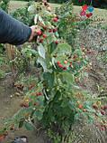 Саженцы малины Херитейдж, фото 4