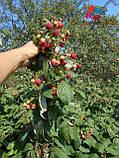 Саженцы малины Херитейдж, фото 6