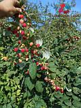 Саженцы малины Херитейдж, фото 7