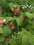 Саженцы малины Полка(1 сорт), фото 5