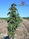 Саженцы малины Полка(1 сорт), фото 4
