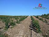Саженцы малины Полка(1 сорт), фото 3