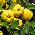 Саженцы Айвы яблоковидной Отличница - (2-х летка), среднего срока, крупноплодная, морозостойкая, фото 2