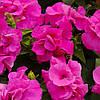 Семена Петуния махровая мультифлора Дуо F1 Розовая  200 семян Pan American
