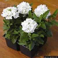 Семена цветов Вербены Кварц ХР белая 50 шт