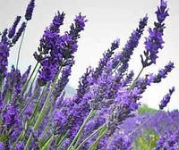 Лаванда-лекарственная трава (30гр)