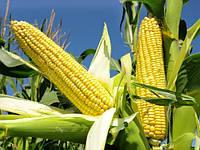 Семена кукурузы MAC 39Т, Maisadour semences