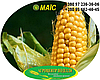 Семена кукурузы гибрид НОВИЙ (ФАО 330), фото 4