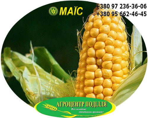 Семена кукурузы гибрид НОВИЙ ФАО 330