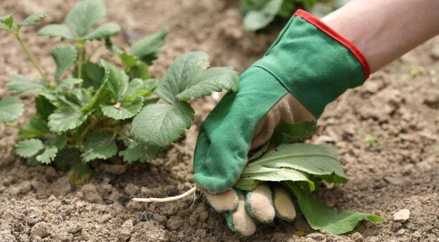Как правильно поливать и подкармливать клубнику после сбора урожая