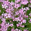 Гіпсофіла багаторічна рожева Gipsophilla Paniculata (кореневище) Нідерланди