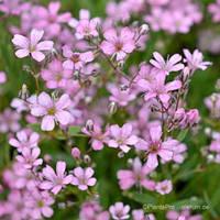 Гіпсофіла багаторічна рожева Gipsophilla Paniculata (кореневище) Нідерланди, фото 1