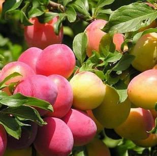 Саженцы Алычи колоновидной Мирабелла - среднего срока, урожайная, зимостойкая