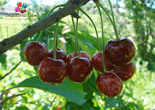 Саженцы вишни Шпанка ранняя