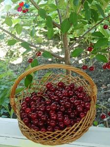 Саженцы вишни Лотивка