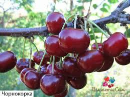 Саженцы вишни Чорнокорка