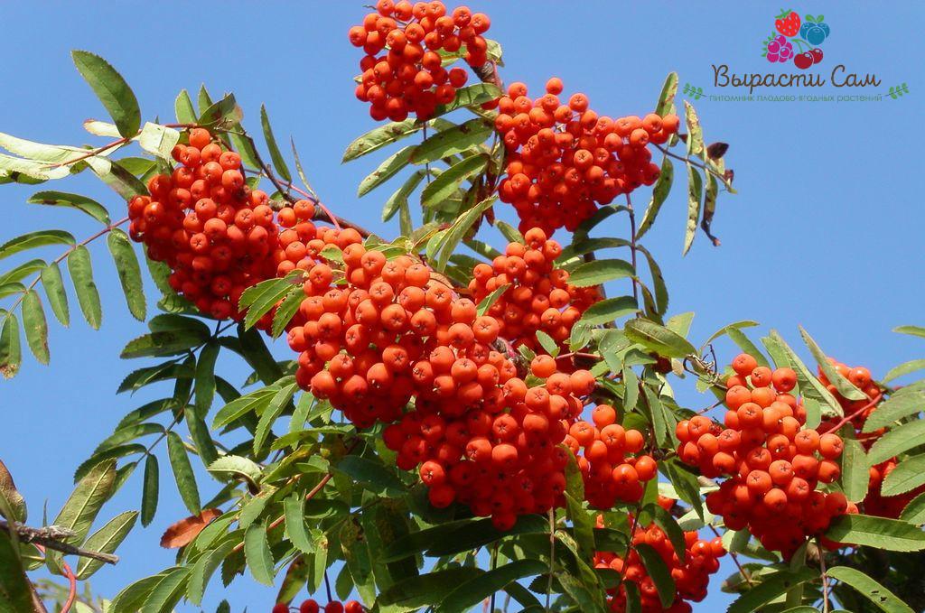 Саженцы Рябины красной (h 1,5-2 метра)